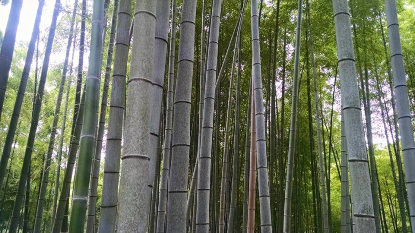 Bamboo forest in Kyoto, Japan. Image Credit: Nicole Radziwill